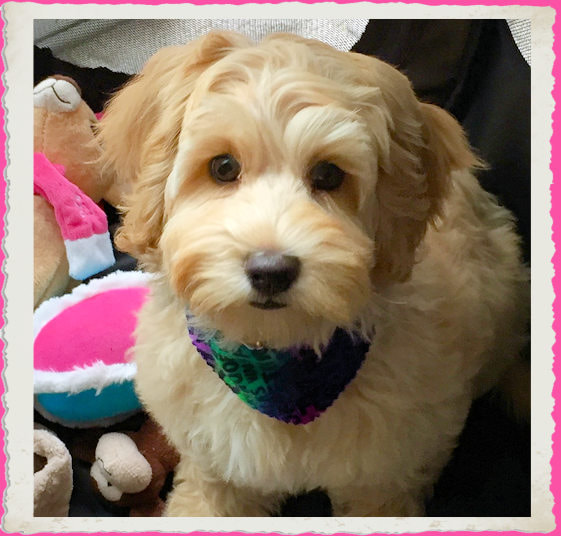 Whispering Winds Australian Labradoodles - Home
