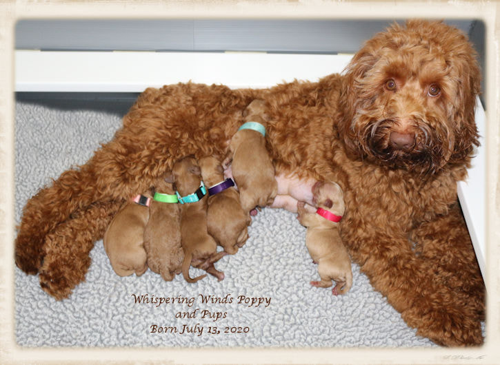 Whispering Winds Australian Labradoodles Home